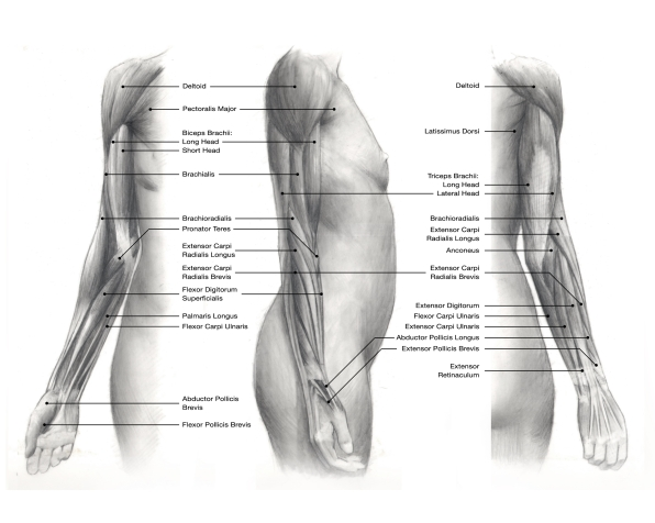 Superficial muscles, upper limb
