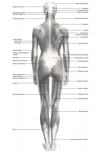 Superficial muscles, posterior