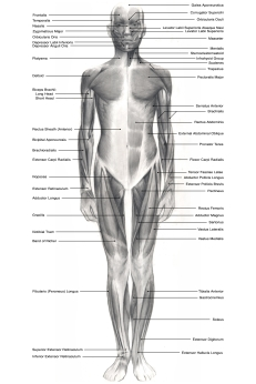 Superficial muscles, anterior