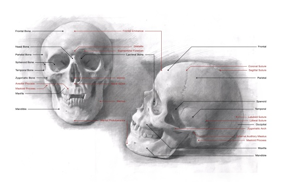 Superficial structures of the skull